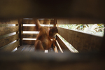 Orphaned Bornean orangutan in a crate.