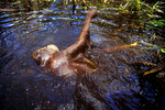 A Bornean Orangutan swimming
