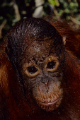 Bornean orangutan after playing in water