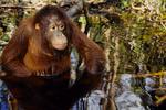 Juvenile Bornean Orangutan wading in water