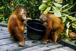 Baby Bornean Orangutans at Tanjung Harapin feeding station.