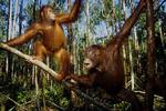 Bornean orangutans