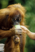 Sumatran orangutans drinking milk at Bukit Lawang feeding station.