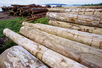 Logged trees from the rainforest await shipment to the sawmill via barge (in background) at Log Pond.