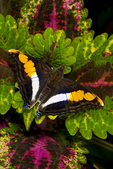 Silver emperor butterfly
