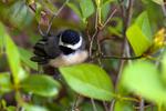Fledgling Black-capped chickadee