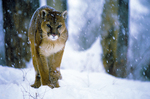 Mountain lion during snowstorm