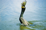 Double crested cormorant with bluegill