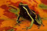 Three-striped poison frog