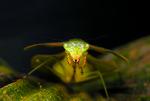 Leaf mantid