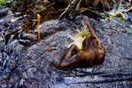 Bornean orangutan playing in water