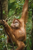A scarred Sumatran orangutan