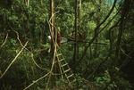 Sumatran orangutans and rangers at the Bohorok feeding station