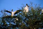 Wood storks nesting