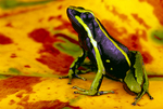 Three-striped poison frog