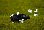 Cape buffalo with cattle egrets