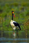 African saddlebill stork