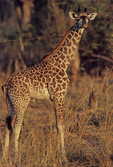 Masai giraffe with Yellow-billed oxpecker