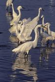 Great egret, snowy egrets