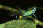 Monkey grasshopper Family: Eumastacidae