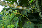 Guanacaste stick insect