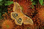 Polyphemus moth on pin cushion