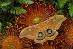 Polphemus moth on pin cushion
