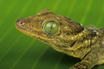 Smiths green eyed gecko