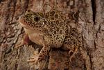 Southern crawfish frog