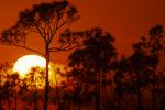 Slash pines at sunset