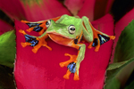 Java flying frog