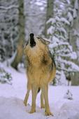 Alaska tundra wolf