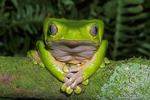 Giant monkey frog