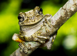 Common Gray Tree frog