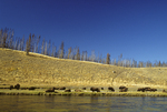 American Bison along the Yellowstone River.