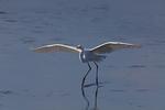 Great egret flying