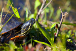 Coastal plain cooter