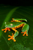 Splendid leaf frog
