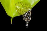 Hourglass frog larvae