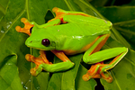 Gliding tree frog
