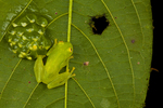 Fleischmanns glass frog with eggs