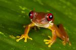 Rufous eyed brook frog