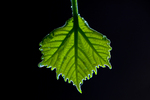New leaf from an American sycamore tree