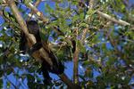 Mantled howler monkey sleeping
