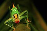 Conehead katydid