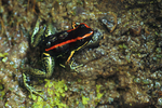 Dyeing poison frog w/ tadpoles