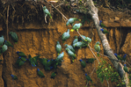 Blue-headed and Short-tailed parrots at a clay lick