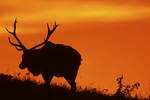 Tule elk at sunset