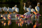 Roseate spoonbills, white pelicans, and white ibis at sunset.