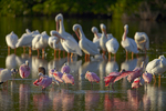 Roseate spoonbills, white pelicans, and white ibis.